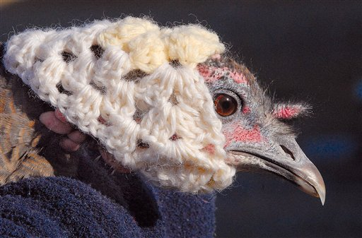 The Turkeys do not need hats